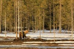 Braunbär in Finnland 1
