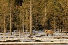 Braunbär in Finnland 2
