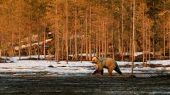 Braunbär in Finnland 3