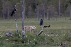 Der Wolf und die Raben