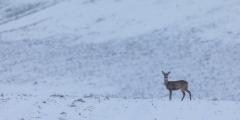 Reh auf verschneitem Feld