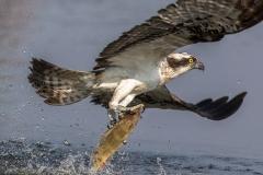 Fischadler mit Fang