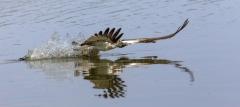 Fischadler über dem Wasser