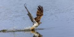 Fischadler - erfolgreiche Jagd