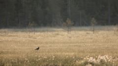 Regenbrachvogel im Morgentau