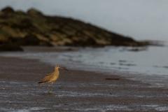 Großer Brachvogel in goldenem Licht