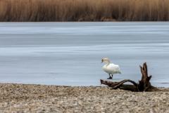 Höckerschwan am zugefrorenen Ammersee