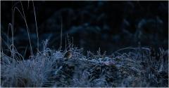 Rotkehlchen im gefrorenen Gras