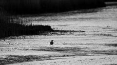 Silhouette eines Brachvogels