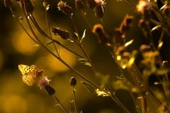Schmetterling im Abendlicht-1