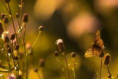 Schmetterling im Abendlicht-2