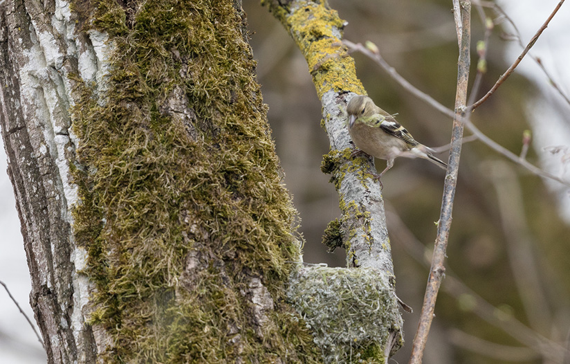 Buchfink – Nestbau